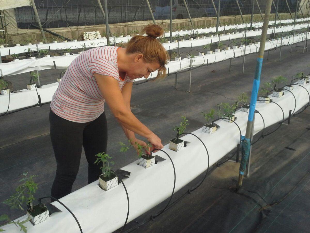 aanplant tomaten 1