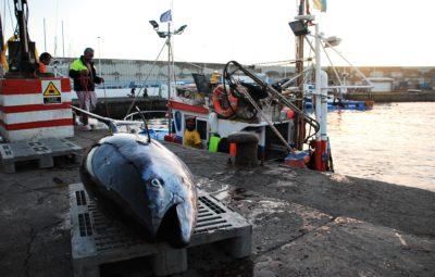atún rojo en Arguineguín