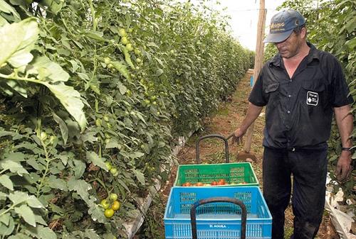 Agricultor cogiendo tomates
