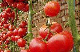 ecologische tomaat