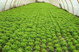 Plantación de lechugas.