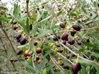 Olivos acebuche