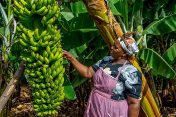 banana africana